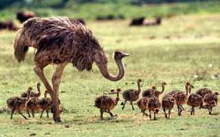 Как выращивать страусов в домашних условиях?