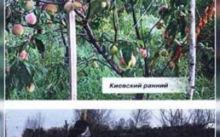 Какой сорт персиков можно выращивать в подмосковье?