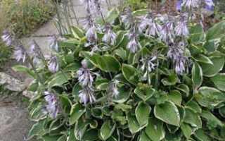 Хоста можно ли выращивать в домашних условиях