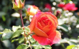 Как выращивать комнатную розу в домашних условиях?