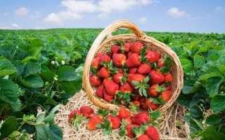Клубника садовая лучшие сорта