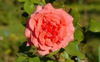 Розы тантау лучшие сорта