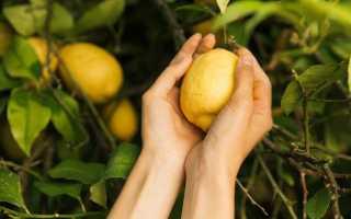 Как выращивать лимон из косточки в домашних условиях инструкция?