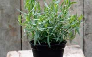 Как выращивать эстрагон в домашних условиях?