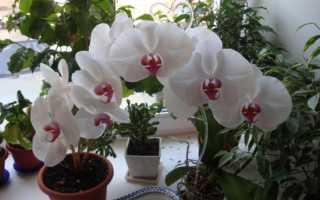 Как выращивать семена орхидеи в домашних условиях?