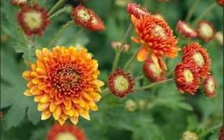 Как правильно выращивать хризантемы в открытом грунте?
