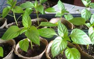 Как выращивать перец из семян в домашних условиях?