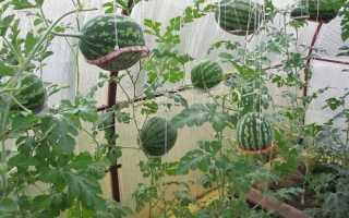 Можно ли выращивать в одной теплице помидоры и дыни?