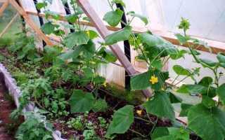 Какие овощи можно выращивать в теплице вместе с огурцами?