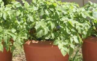 Как выращивать картошку в домашних условиях?