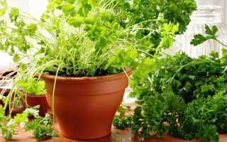 Можно ли выращивать укроп и петрушку на подоконнике?