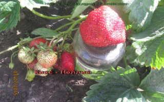 Лучшие сорта клубники садовой