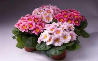 Можно ли садовую примулу выращивать как комнатную?