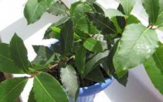 Как в домашних условиях выращивать лавровый лист в домашних условиях?