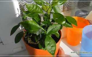 Как в домашних условиях выращивать хурму в?