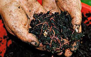 Как выращивать красных червей в домашних условиях?