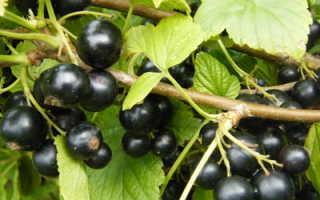 Сорта черной смородины в выращиваемые в беларуси