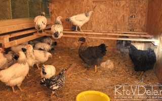 Как правильно выращивать кур несушек в домашних условиях?