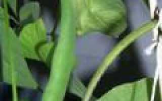 Как выращивать фасоль в домашних условиях в горшке?