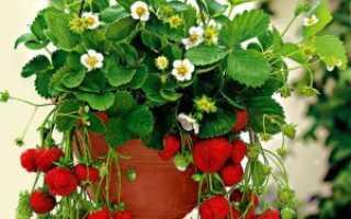 Можно ли клубнику выращивать в домашних условиях?