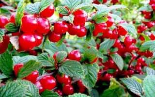 Лучшие сорта вишни войлочной