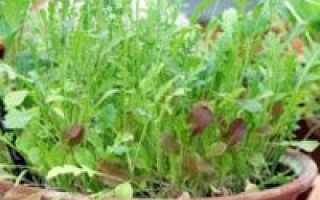 Как выращивать руколу в домашних условиях?