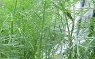 Можно ли выращивать укроп в домашних условиях зимой?