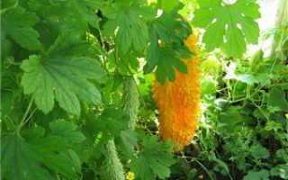 Как выращивать момордику в домашних условиях?