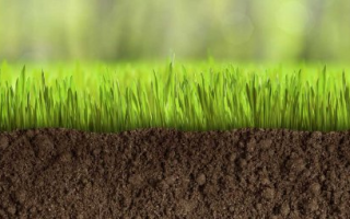 Лучшие сорта газонной травы