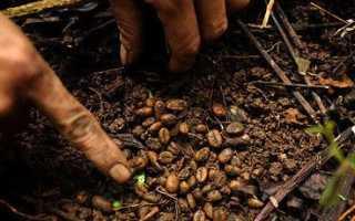 Лучшие сорта вьетнамского кофе