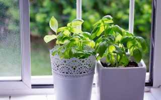 Выращиваем базилик в домашних условиях