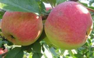 Лучшие сорта самоплодных яблонь