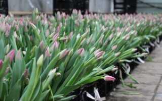 Как правильно выращивать тюльпаны к 8 марта в теплице?