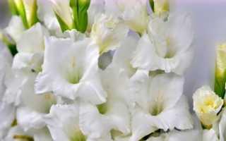 Лучшие сорта белых гладиолусов