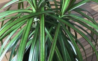 Как выращивать драцену в домашних условиях проблемы драцены?