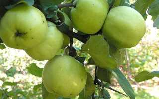 Яблони поздние сорта хорошая лежкость