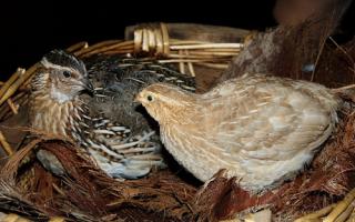 Как выращивать перепелов в домашних условиях для яиц?