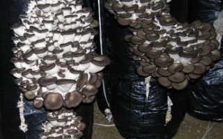 Как выращивать грибы вешенка в домашних условиях в подвале?
