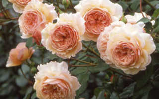 Лучшие сорта роз парковых