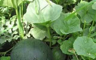 Как правильно выращивать арбузы в средней полосе?