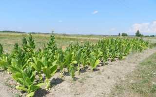 Выращивать табак в домашних