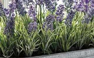 Как правильно выращивать лаванду в домашних условиях?