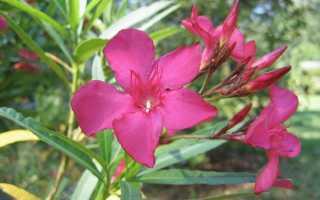 Можно ли выращивать дома олеандра комнатное растение?