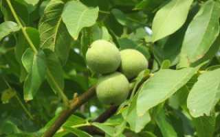 Выращиваем грецкий орех в домашних условиях