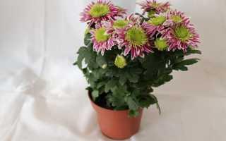 Как в домашних условиях выращивать хризантему?