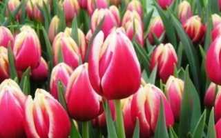 Как выращивать тюльпаны в домашних условиях к 8 марта?