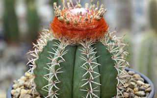 Как выращивать кактусы в домашних условиях из семян?