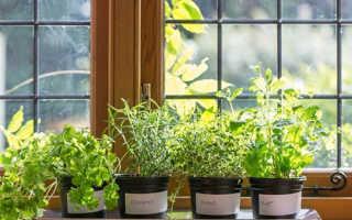 Как выращивать базилик укроп салат лук чеснок в домашних условиях?