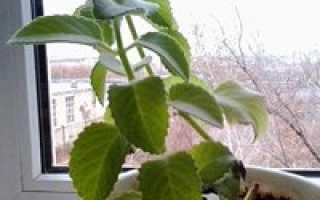 Как выращивать мяту в домашних условиях в горшках зимой?