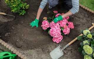 Как правильно выращивать гортензию в открытом грунте?